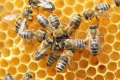 Tienduizenden bijen in ziekenhuis